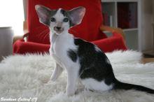 Orientální krátkosrstá kočka