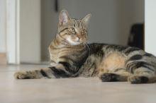 Evropská krátkosrstá kočka